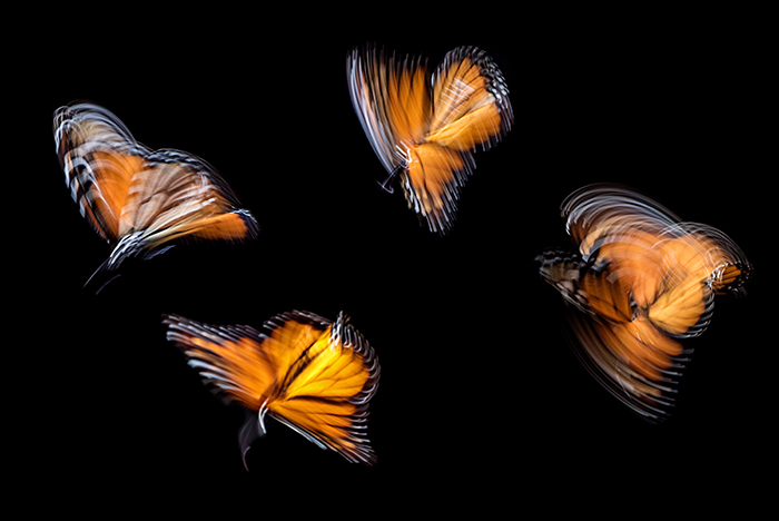 4 blurry butterflies against a black background as an example of impressionist photography