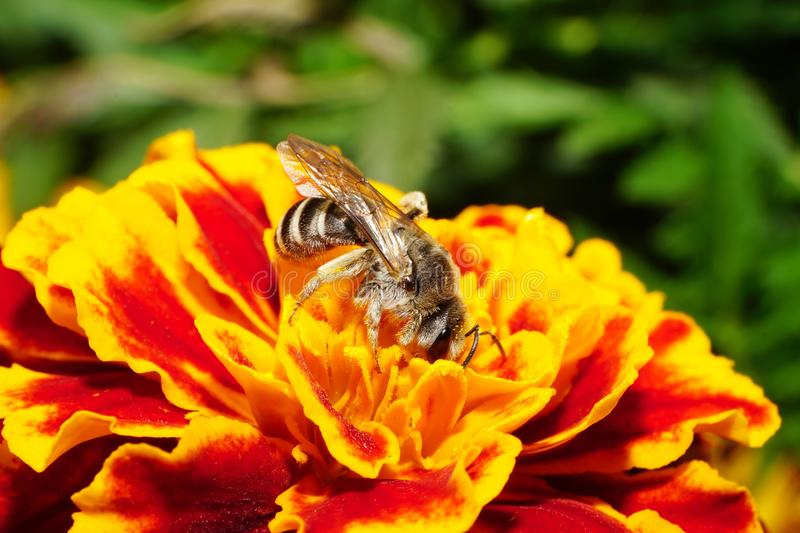 Close-up side view of Caucasian wild bee on a orange-red tagetes. Close-up side view of a wild shaggy gray Caucasian bees collecting pollen and nectar on bright stock photos