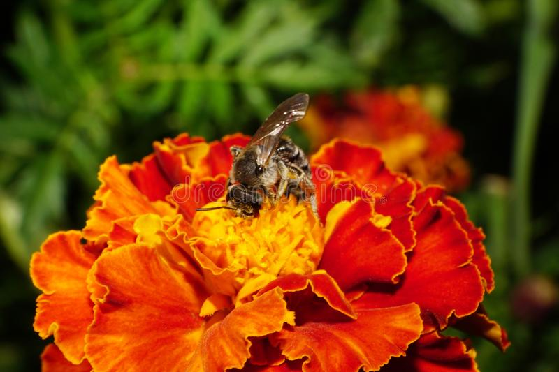 Close-up side view of Caucasian wild bee on a tagetes. Close-up side view of a wild shaggy Caucasian bees gray wings collecting pollen and nectar on bright royalty free stock image