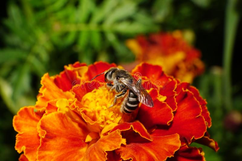 Close-up side view of Caucasian wild striped bee on a orange-red tagetes. Close-up side view of wild striped, furry, gray Caucasian bees with wings and antennae royalty free stock photography