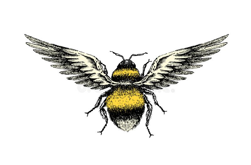 Drawing Of A Fantasy Bumblebee With Bird Wings. A hand drawing sketch of a fantasy bumblebee insect top view with birds wings royalty free illustration