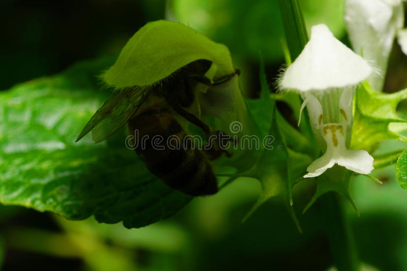 Macro of large red Caucasian bees hidden under flower nettle Lam. Macro side view of a big red striped Caucasian bees collect nectar plants under white flower stock images