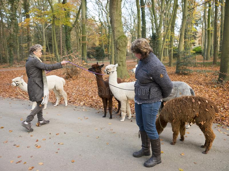 woman with alpacas on the leash in dutch autumn forest near utrecht in holland stock photography