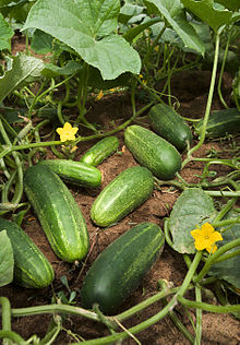 Photograph of cucumber vine with fruits, flowers and leaves visible